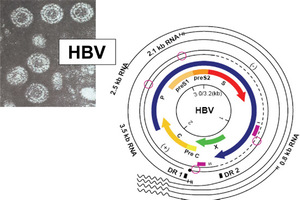 a hepatitis b okoz-e fogyást)