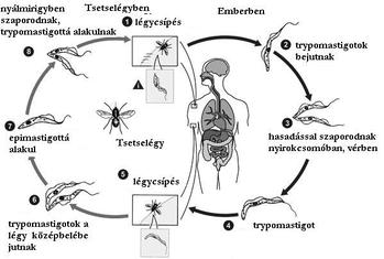 parazita a nyálmirigyben)